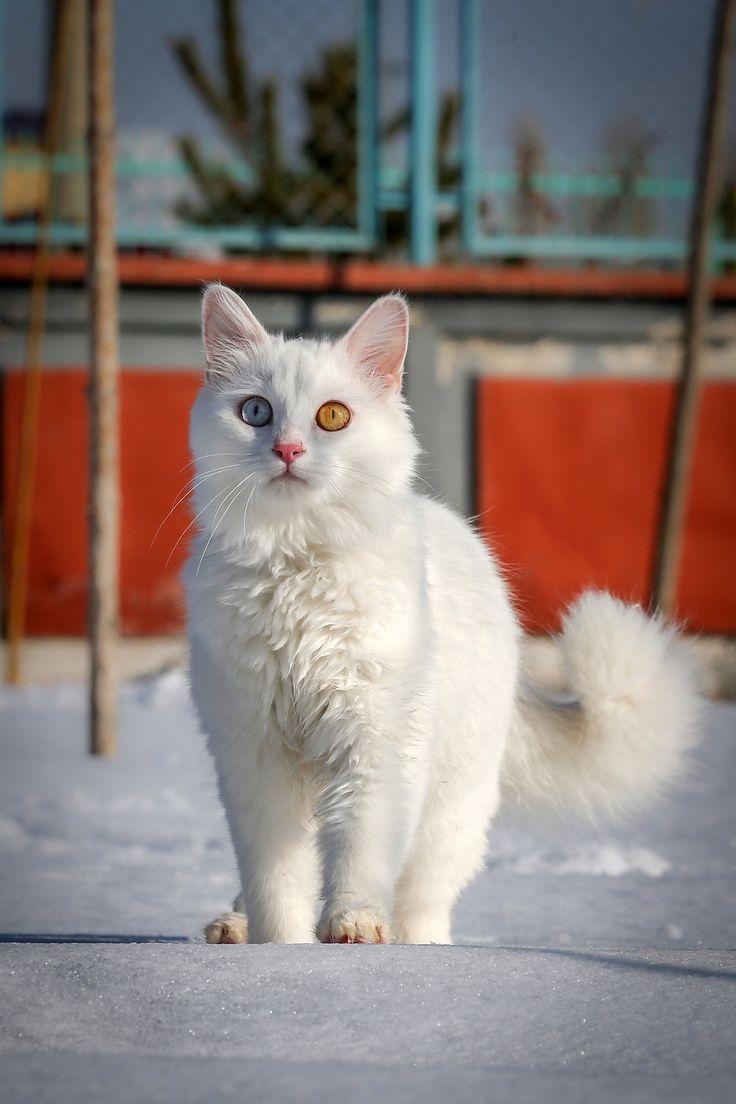 36 best Snowshoe Cat images on Pinterest