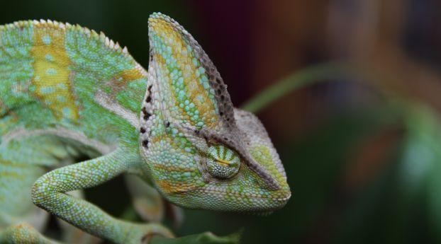 Chameleon Reptile Color Animal Wallpaper Chameleon