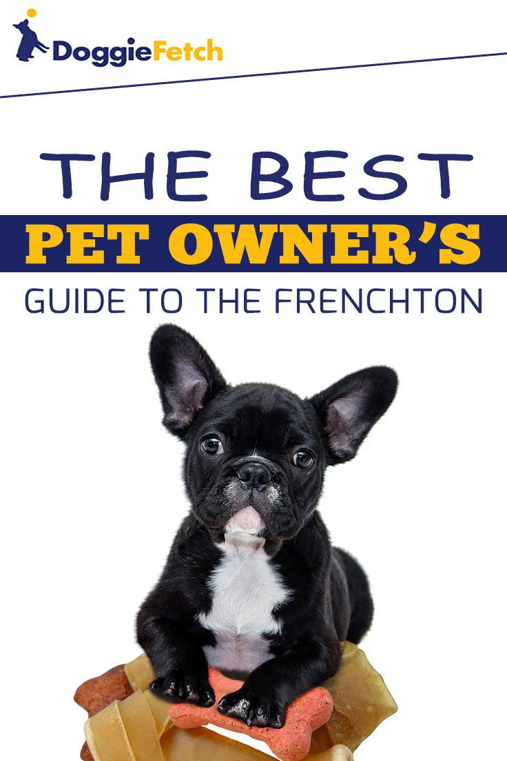 A Pet Owner S Guide To The Frenchton Frenchton Dog Pets French