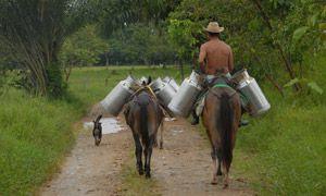 """""""Silvopasture"""" dairy farming - Colombia"""