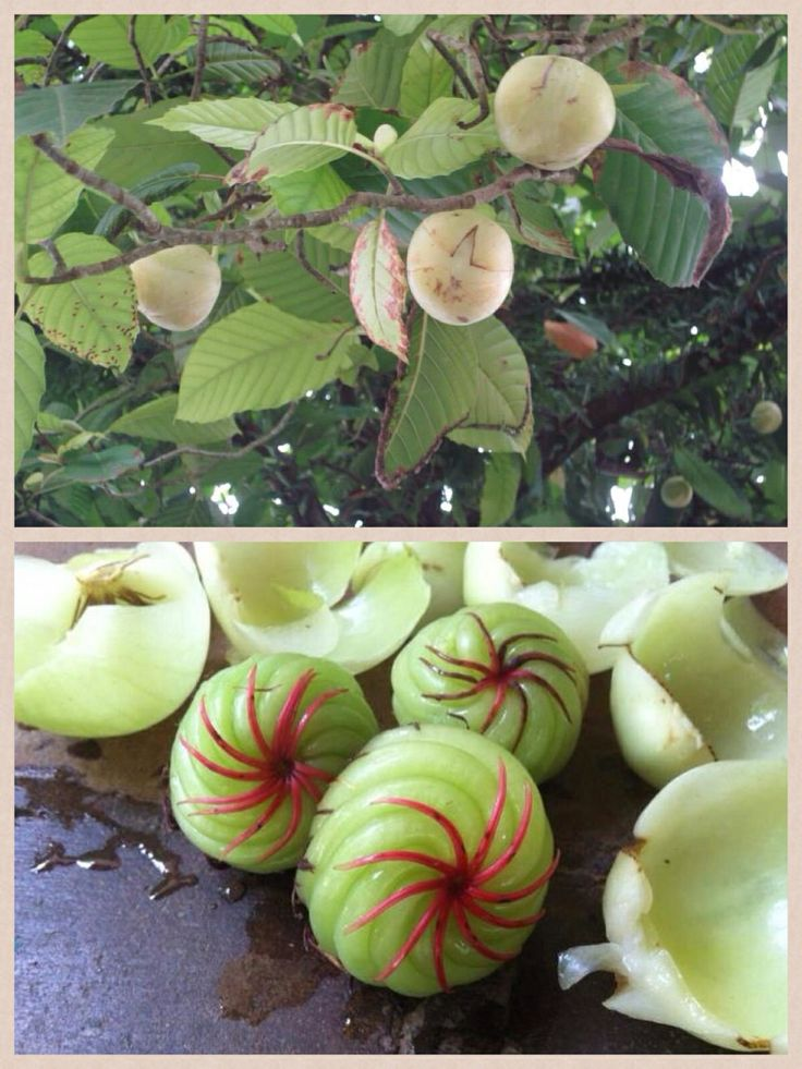 Katmon Philippine Fruits Nuts Amp Vegetables Pinterest