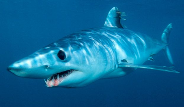 """Shortfin mako sharks have been called """"the peregrine falcons of the shark world."""" Their torpedo-like bodies and biochemistry make these the fastest of all sharks. Many attain speeds up to 22 miles per hour. One shortfin mako was even clocked swimming at 43 miles per hour. To put that into perspective, the fastest known humans run at around 18 mph."""
