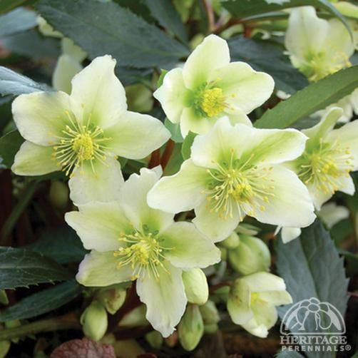 plant profile hellebore helleborus nigercors honeyhill joy perennials for gardening. Black Bedroom Furniture Sets. Home Design Ideas