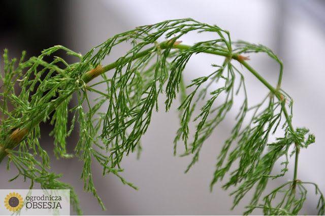 Ogrodnicza Obsesja: Krótkie porady: preparaty ze skrzypu polnego
