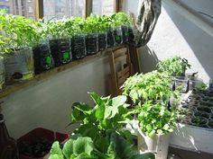 Упрощенный способ выращивания рассады | Дачный сад и огород