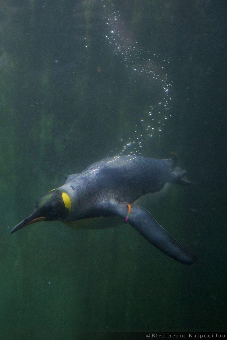 Penguin - Πιγκουίνοι (Schönbrunn Zoo Vienna)