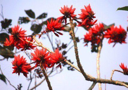 Flower Tree, Ilam, Nepal