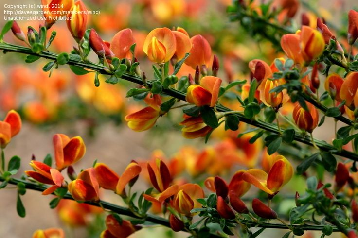 Scotch Broom 'Pomona' (Cytisus scoparius) - drool. can't find it anywhere.
