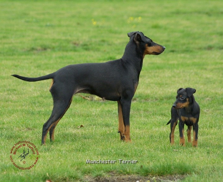 manchester toy terrier - photo #44