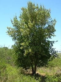 Quillay - árbol nativo chileno