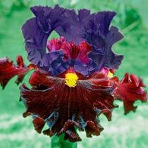 Naughty Nights Bearded Iris