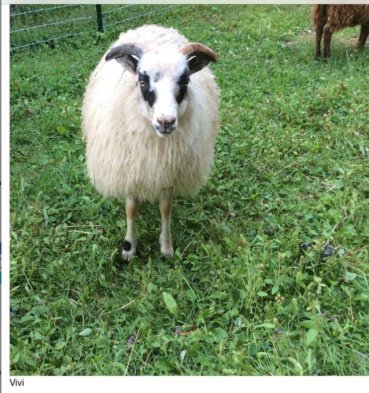 Vivi: Icelandic sheep....ewe lamb July 2015