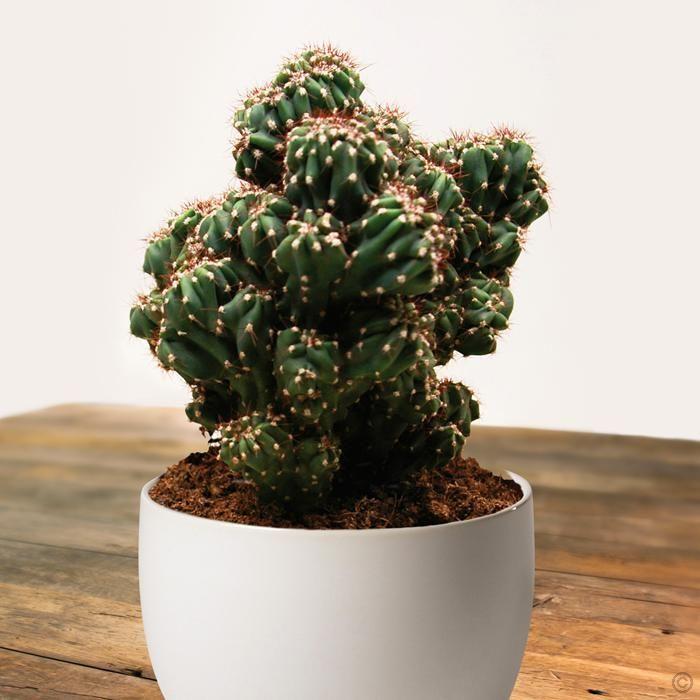 Cactus Cereus peruvianus monstrosus - 1 plant Buy online order yours now