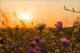 Картинки по запросу пшеничные поля цветы