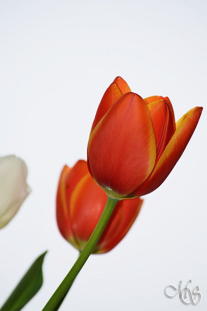 https://flic.kr/p/REGJnE | Tulips