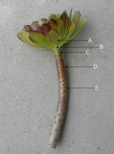 Succulent propagation technique - I didn't know this. I will be working this technique today in my garden!