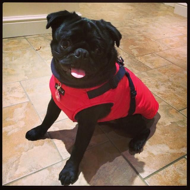 1000+ images about ALL THINGS PUG RED on Pinterest | Coats