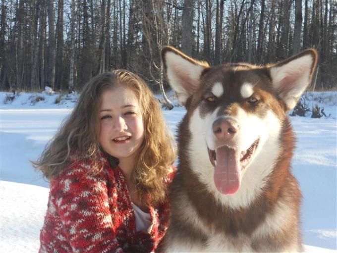 Giant Alaskan Malamute Red!! | Samoyeds and Snow Dogs ...
