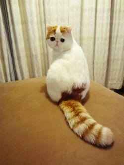Exotic Shorthair cat!