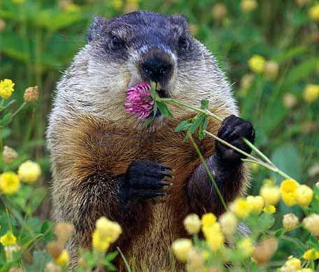 Groundhog/Woodchuck enjoying a clover flower