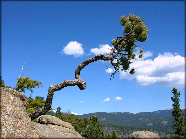Image result for krummholz tree  Trees in nature  Tree art Bonsai Twisted tree