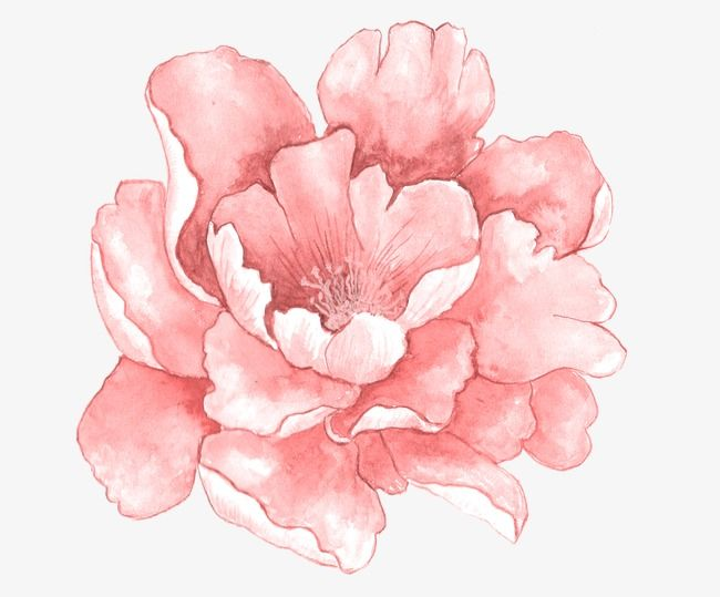 Pink Watercolor Flowers In Full Bloom Watercolor Clipart Flowers