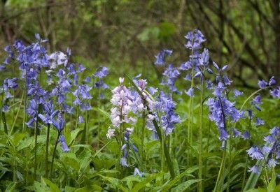 English-bluebells