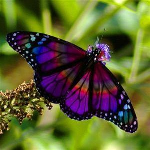 Flutterby: Beautiful Butterflies, Purple Butterflies, Inspiration, God, Nature, Rainbows Colors, Rainbows Butterflies, Tattoo, Stained Glasses