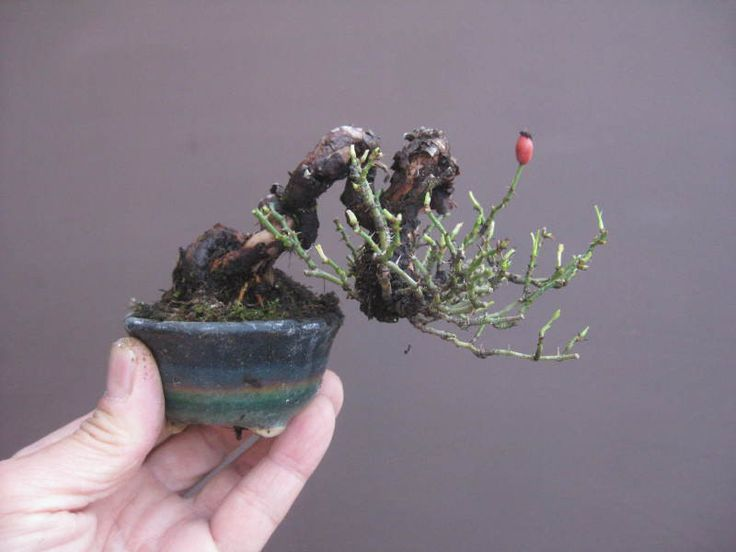 盆栽:小町バラのミニ盆栽 の画像|春嘉の盆栽工房