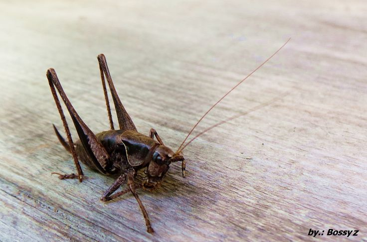 Grasshopper Hungarian
