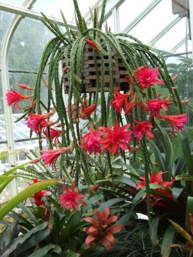 Aporophyllum 39 Edna Bellamy 39 Aporophyllum Succulentopedia Cactus Cactiandsuc Aporophyllum Be Blumen Pflanzen Hangepflanzen Bluhende Pflanzen