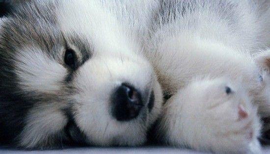 pomsky pup