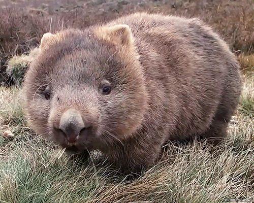 common wombat | Nur ein Vogel auf einem Wombat