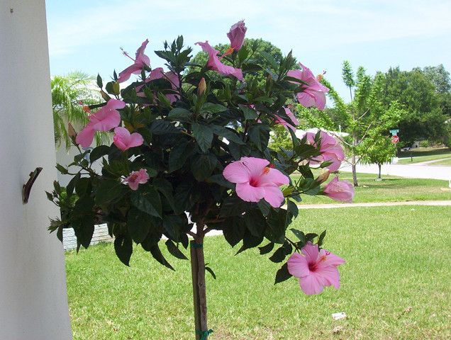 Buy Hibiscus Flowers, Plants And Hibiscus Trees, Learn About Growing  Hibiscus, Caring For Hibiscus And Hibiscus Growing Every Thing You Need To  Know To Grow ...