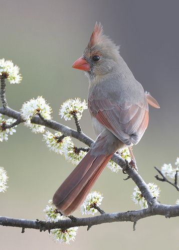 "Northern Cardinal (female) ~ Miks' Pics ""Fowl Feathered Friends l"" board @ http://www.pinterest.com/msmgish/fowl-feathered-friends-l/"