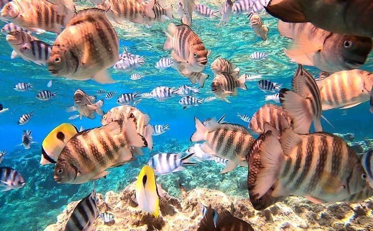 Bora Bora Under The Sea Snorkelaroundtheworld For Snorkeling Inspiration Go To Snorkelaroundtheworld Com Fish Pet Pets Nancy Drew Mysteries