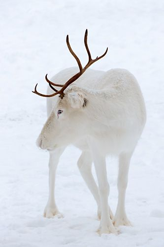 White reindeer- so rare, so unusual. Maybe HE should guide Santa's sleigh! Visit www.LaughingGoddess.International Every Woman a Goddess!