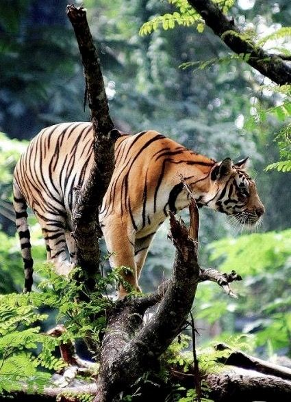 Animais selvagens #animals #tiger