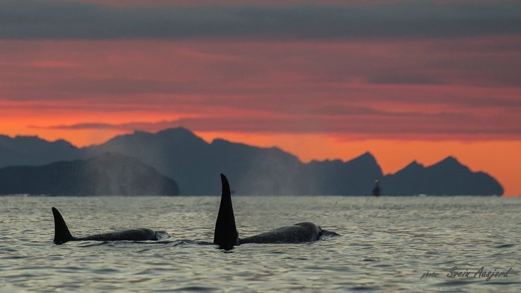 Orcas Spekkhoggere with senja in the background. Norway