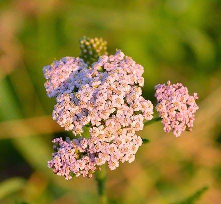 Η Αχιλλέα η χιλιόφυλλος, είναι ένα βότανο γνωστό για τις θεραπευτικές του ιδιότητες από την αρχαιότητα, καθώς ήταν ιδιαίτερα διαδεδομένη και την χρησιμοποιούσαν για να