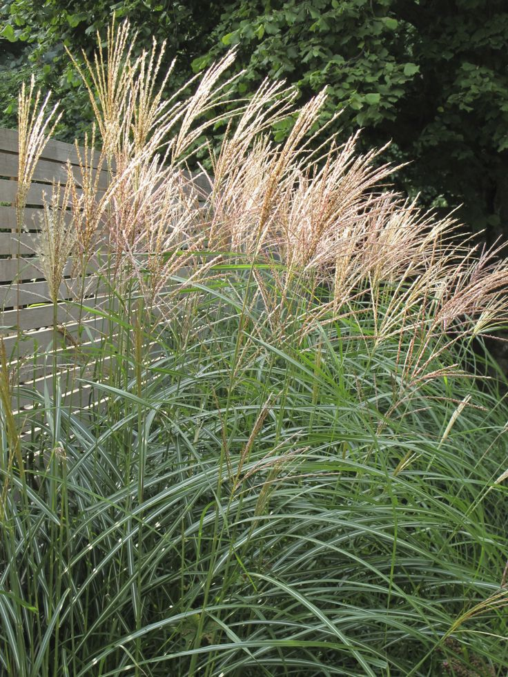 Miscanthus sinensis 39 gracillimus 39 brings height and autumn for Ornamental grasses for small spaces