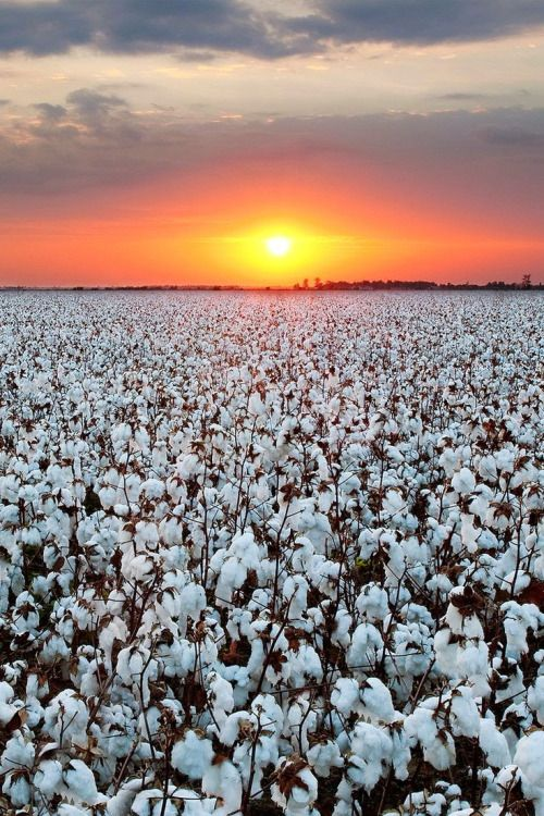 Sunrise over Earnest Cotton Farm - Texas, USA