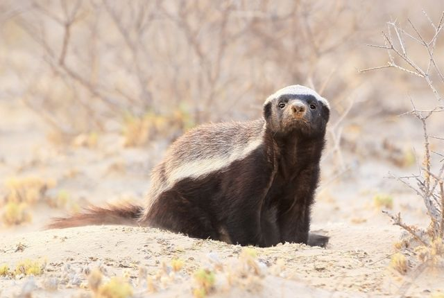 "You've probably heard all kinds of things about the honey badger and wondered, ""Are these claims substantiated?"""