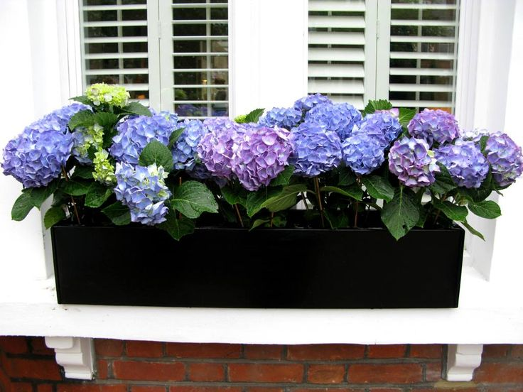 Hydrangea window box