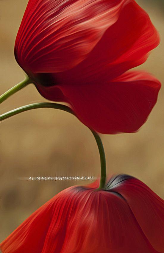 ~~Flower lovers ~ red poppies by almalki abdullrahman~~