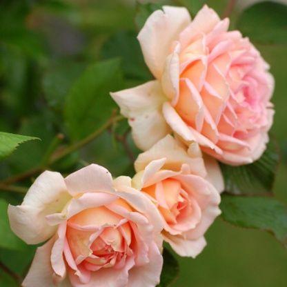 17 best images about roses on pinterest charlotte rose. Black Bedroom Furniture Sets. Home Design Ideas