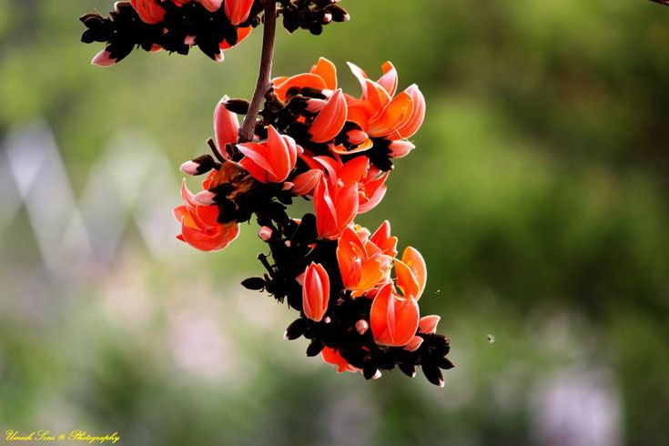 Palash by Umesh Soni | Flowers, Photo, Floral