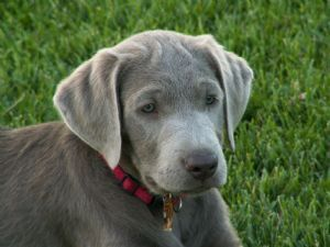 silver lab puppies for adoption - OnlyOneSearch Results