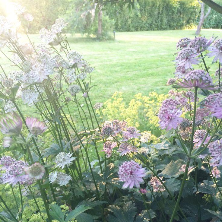 Stjärnflocka och daggkåpa i blom