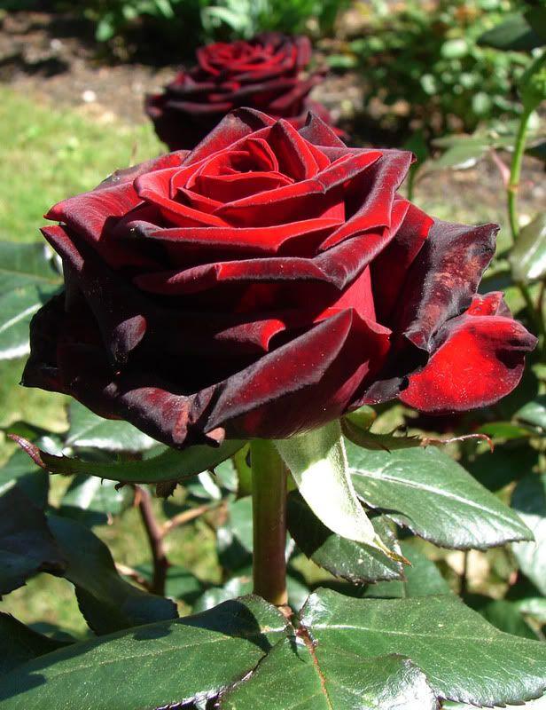 Black Magic Rose